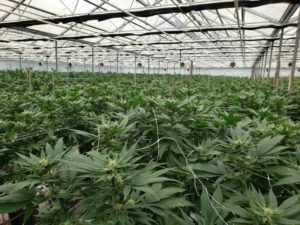 Local ballot measures across California could significantly expand marijuana industry footprint