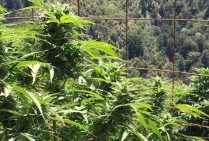 Week in Review: California cannabis designations, Supreme Court loss, union victories & more